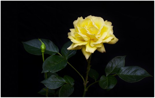 plant_black_macro_tree_green_rose_yellow_garden-291984