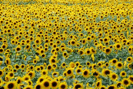 sunflowers_flowers_field_yellow_summer_agriculture_crop_vibrant-946794.jpg